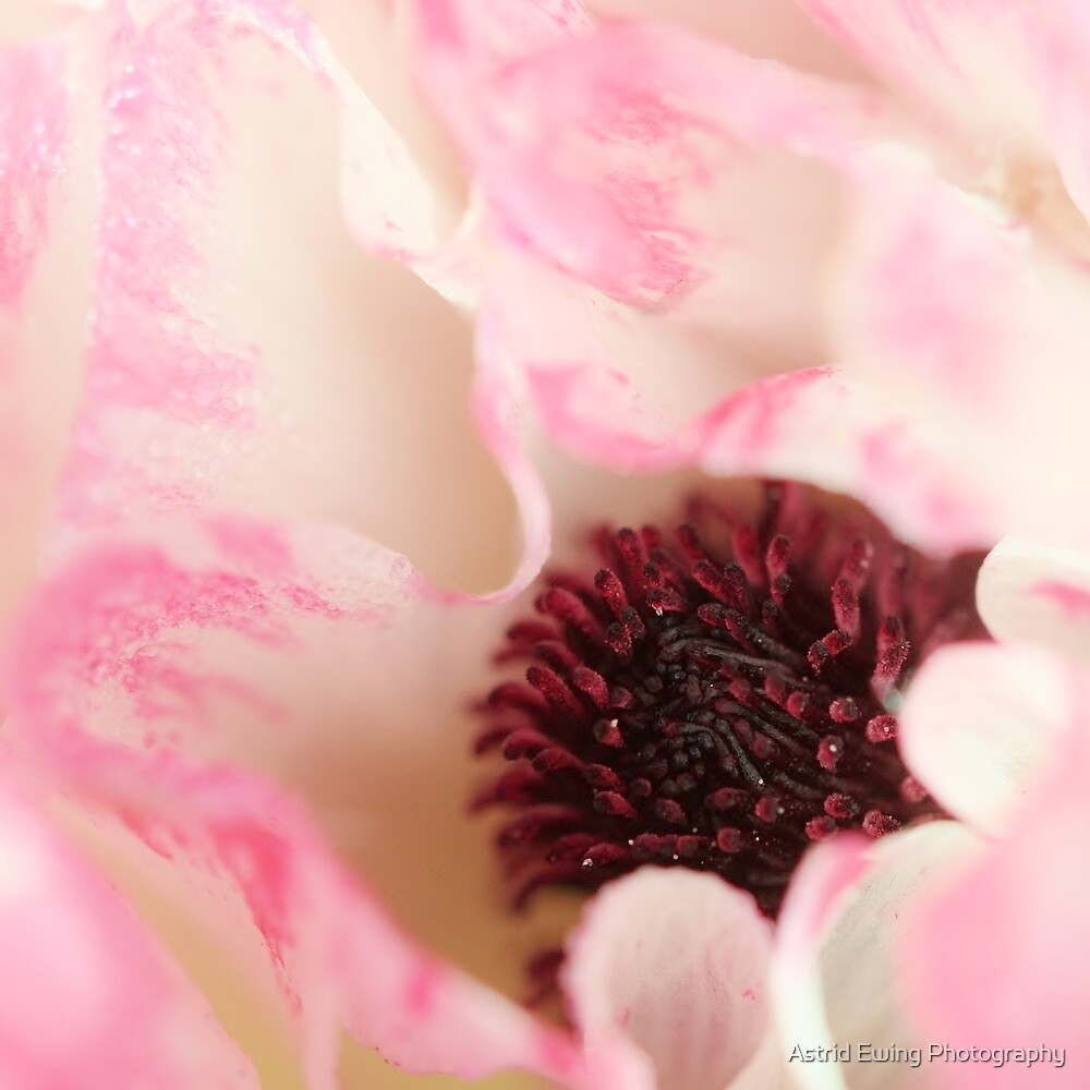 Ranunculus Heart by Astrid Ewing Photography