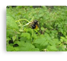 Acrobatic Bumble-Bee. Canvas Print
