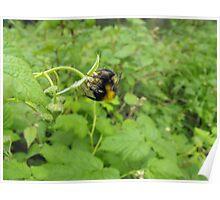 Acrobatic Bumble-Bee. Poster