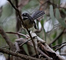 Grey Fantail by fungifun