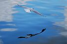 A Silver Gull reflection on a sky reflection by Ian Berry