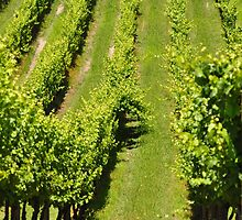 Into the vineyards by stellaclay