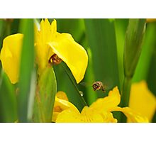 Flight of The Bumble Bee Photographic Print