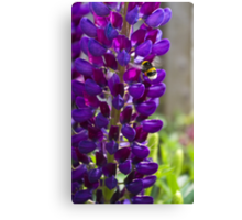 Purple Lupin Canvas Print