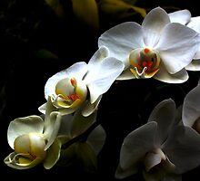 White orchid - Phalaenopsis by Jasna