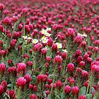 Red Clover  by karina5