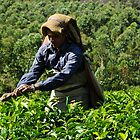 Picking Tea Leaves, Munnar by Dhruba Tamuli