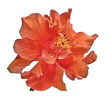 Orange Hibiscus - Close-Up Photographic Print