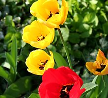 Colourful Tulips! by TallulahMoody