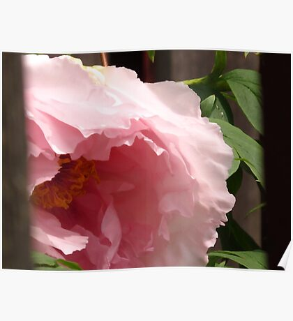 Purring Peony Poster