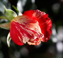 Just Before Winter Rose by Joy Watson