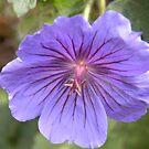 Purple Lady... by supernan