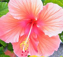 Hibiscus by WeeZie
