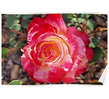 Frilly-edged rose Poster