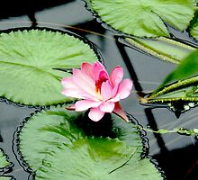 Nymphaea piyalarp - Water Lily by Jasna