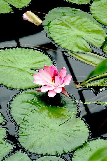 Nymphaea piyalarp - Water Lily by Jasna