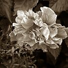 hibiscus in sepia by Margaret  Shark
