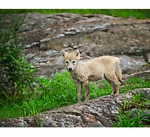 Wolf pup  Photographic Print