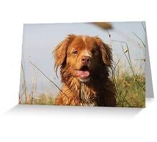 Paddy the one eyed toller Greeting Card