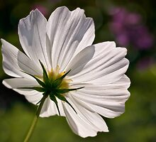 Glowing white cosmos by Celeste Mookherjee