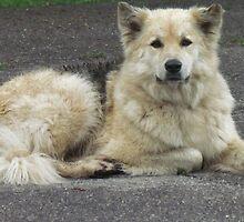 Kayda - German Sheperd/Husky by Shawty's Photography