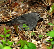 Gray Catbird Foraging in Leaf Litter by Robert Miesner