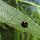 Ashy Gray Lady Beetle (1 of 2 Color Forms) by Kimberly Chadwick