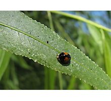 Ashy Gray Lady Beetle (1 of 2 Color Forms) Photographic Print
