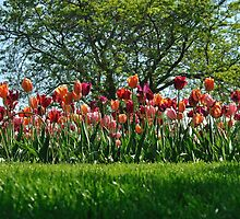 A Tree Among Tulips  by laruecherie