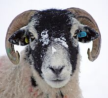 Swaledale Sheep in Winter Snow by Furtographic