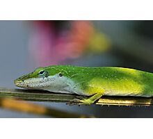 Colorful Anole Photographic Print