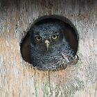 Eastern Screech Owlet by Tom Dunkerton