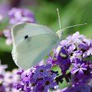 White butterfly by loiteke