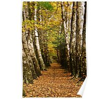 avenue of birch trees Poster