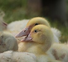Duckling in the Limelight by karina5