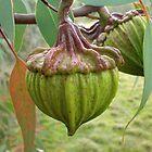 Australian Gumnut by Penny Alexander