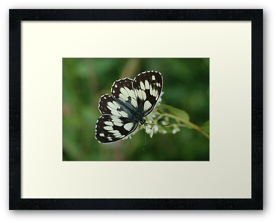 Marbled White by marens