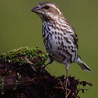 Female Purple Finch by Rob Lavoie