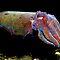 (Sea Life Category) - Order - Sepiida - Cuttlefish