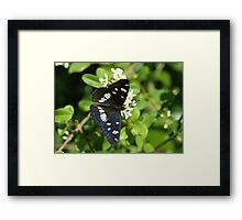 Southern White Admiral Framed Print
