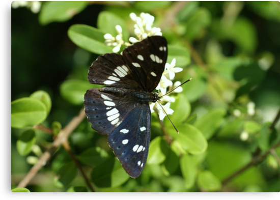 Southern White Admiral by marens