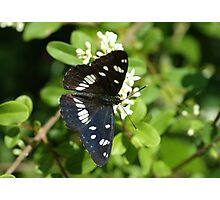 Southern White Admiral Photographic Print