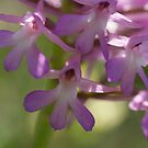 Pyramidal Orchid by marens