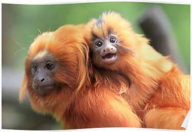 Golden lion tamarin by DutchLumix