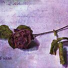 Old Rose by Gilberte