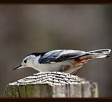 """""""The Nuthatch"""" by Gail Jones"""