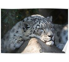 Snow Leopard Nap Poster