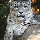 Snow Leopard by Randall Ingalls