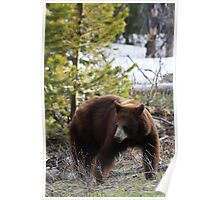 Female American Black Bear Poster