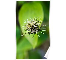Floating Head - Clematis with a Leafy Background Poster